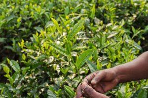 leaf of indian tea camellia sinensis