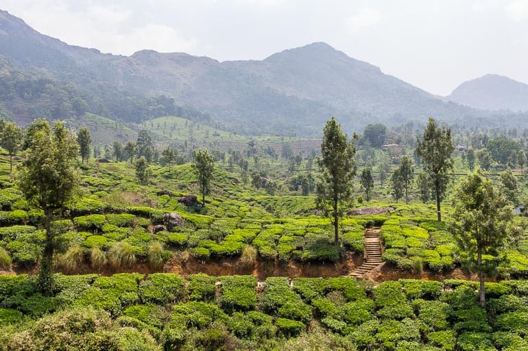 plantations of indian tea