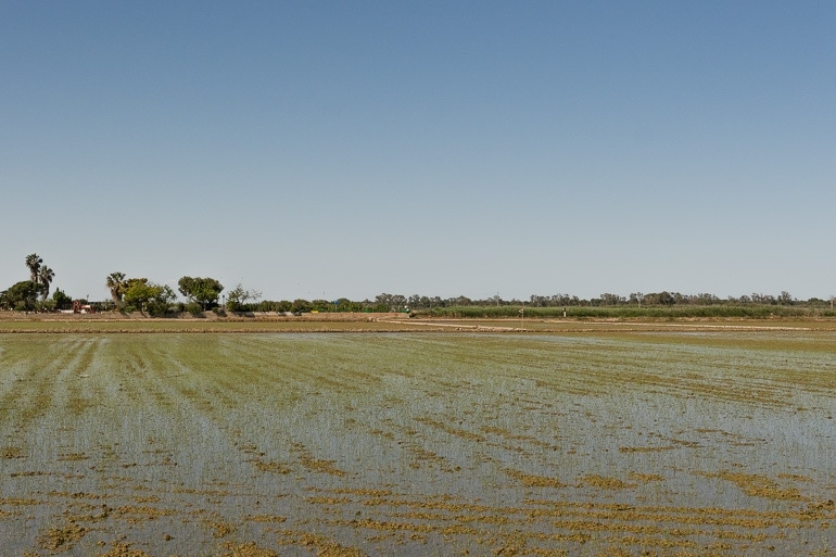 rice fields in La Albufera, Valencia