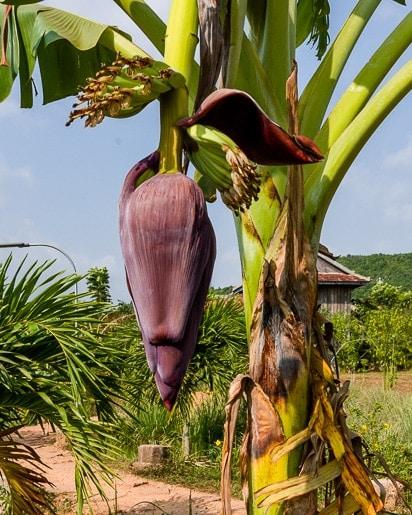banana flower hanging from a banana tree
