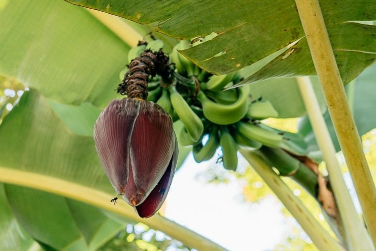 banana blossom hanging on a banana tree