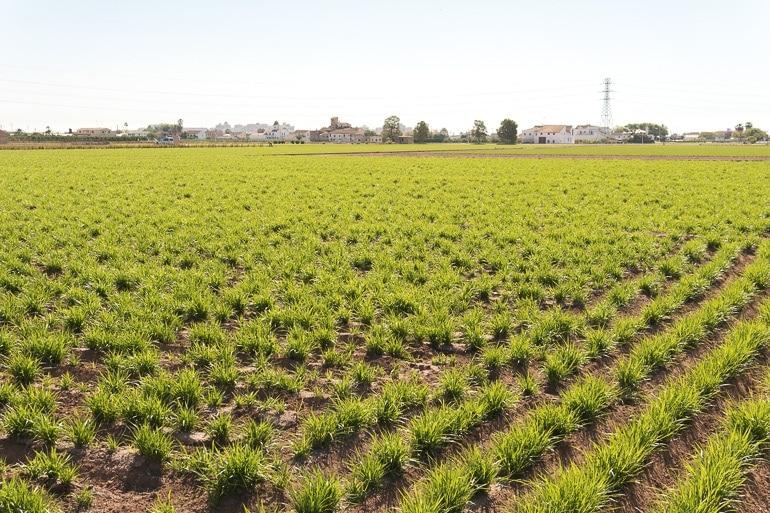 cultivo de junça (chufa) em Valência na Espanha