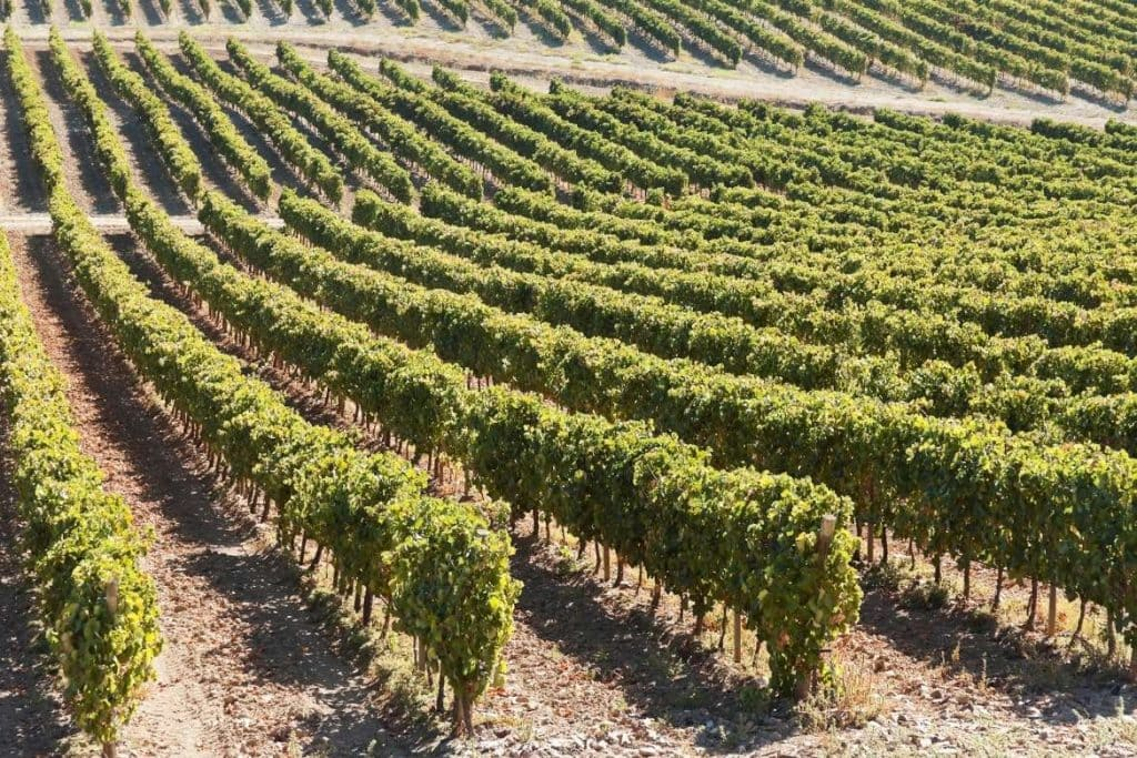 vineyards in a winery during a trip in the city of Borba in the Alentejo Centro