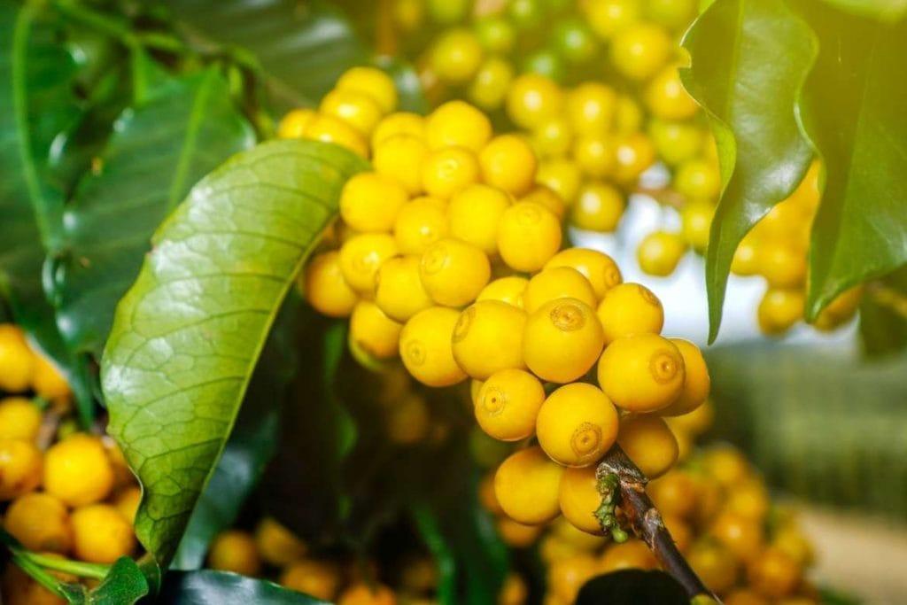 café especial do brasil bourbon amarelo na rota de café em Minas Gerais