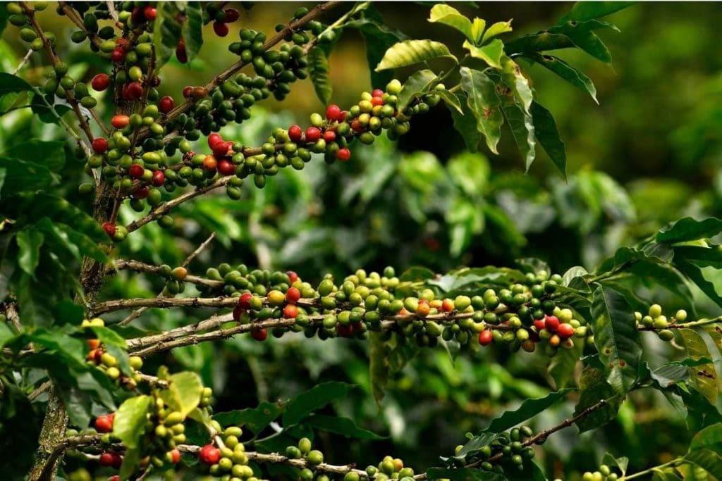 plantação de café durante uma excursão de café no Panamá