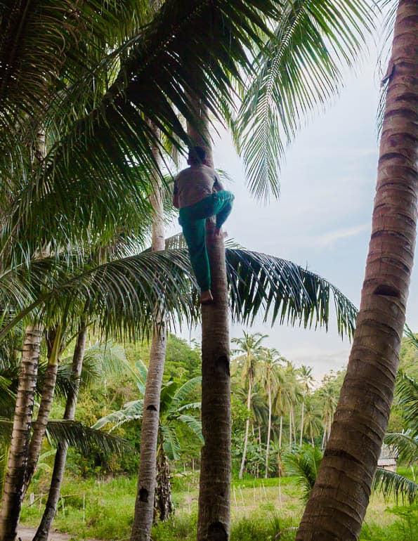 coletor de vinho de coco subindo no coqueiro