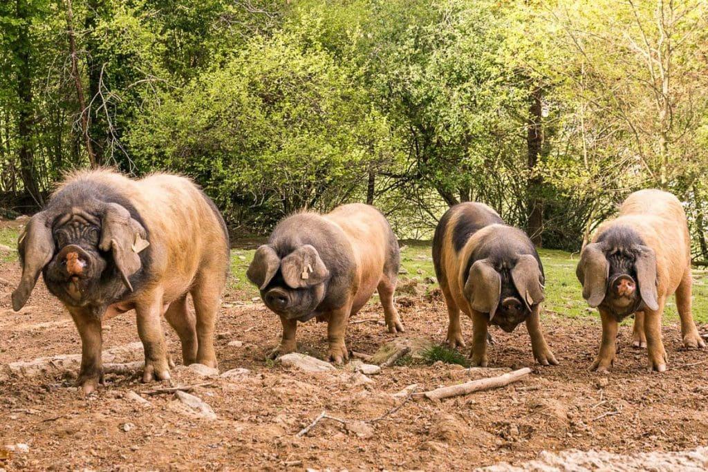 pigs native to San Sebastian during a visit to a artisanal jamon rural producer at the OMT food tourism event