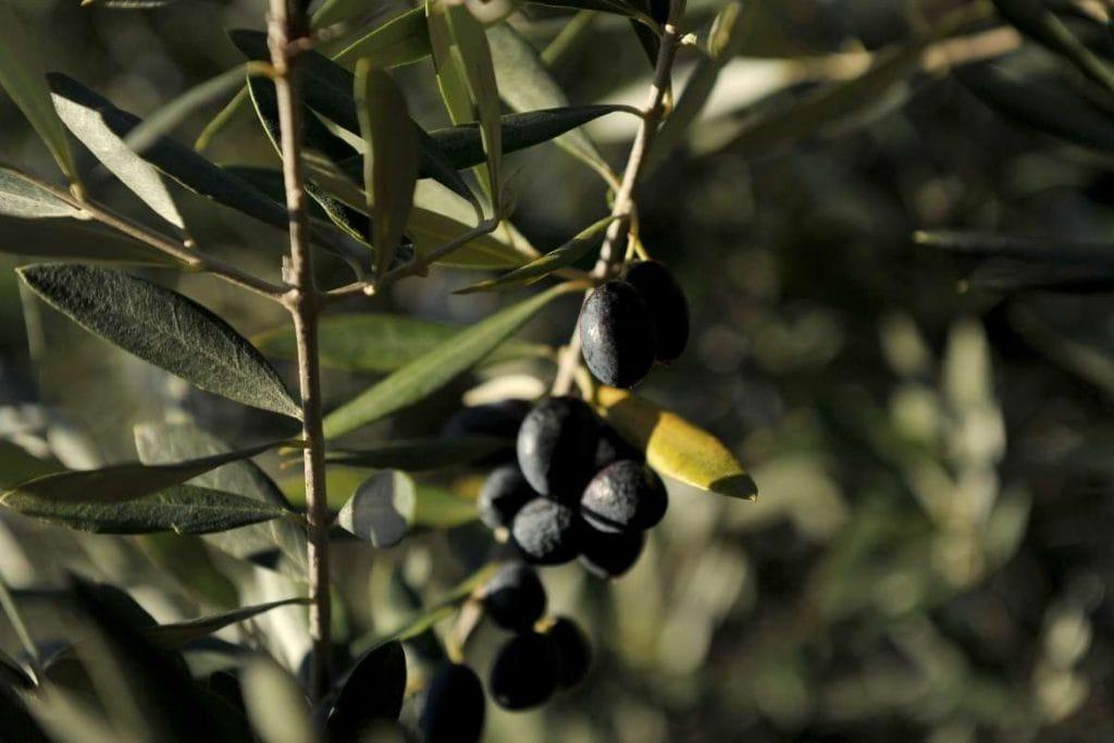 Some black olives on a olive tree