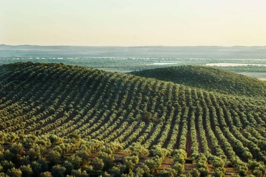 Landscape with olive grove in Alentejo, best place for olive oil tourism in Portugal