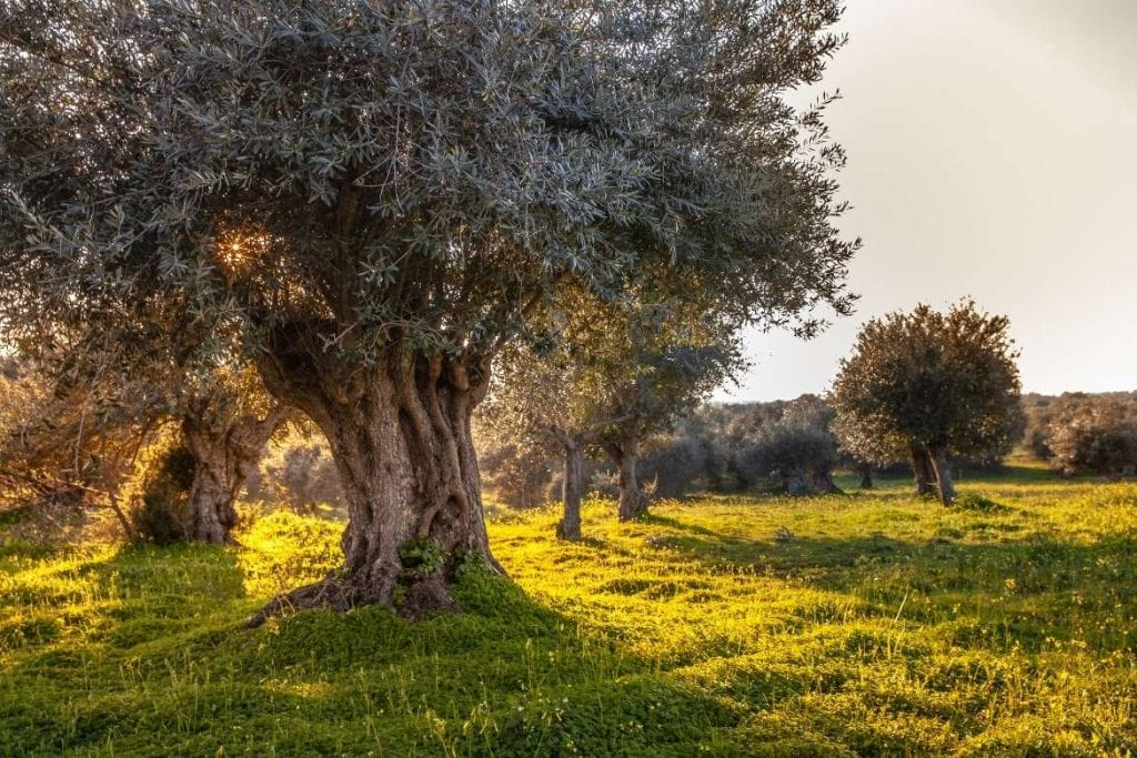 Old olives tree in a morning sunlight in Alentejo Portugal