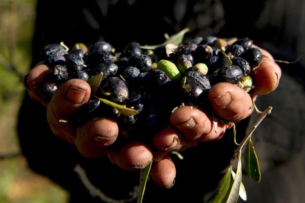 Handful of harvested black olives in Portugal