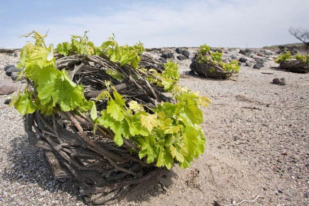 vinhedos em Santorini em forma de cesta, utilizando o método chamado kouloura