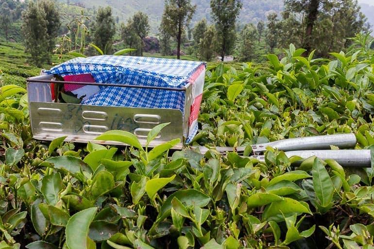 instrumento da Índia para cortar as folhas de chá dos arbustos