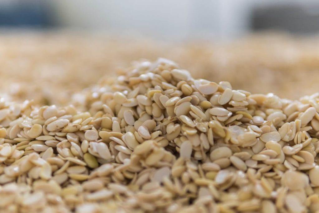 soja cozida durante a produção de tempeh