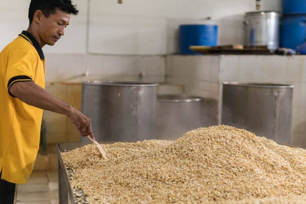 produzindo tempeh estágio inicial após o cozimento da soja