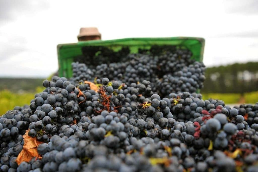 grape harvesting in Portugal used for many portuguese drinks