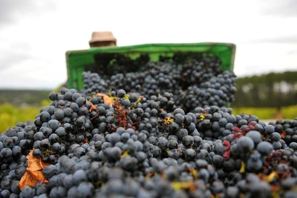 colheita da uva em Portugal utilizada para muitas bebidas portuguesas