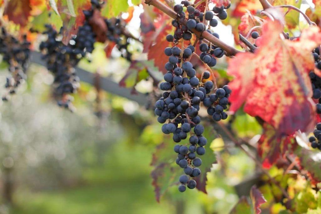 uvas em um vinhedo durante um tour em vinícola