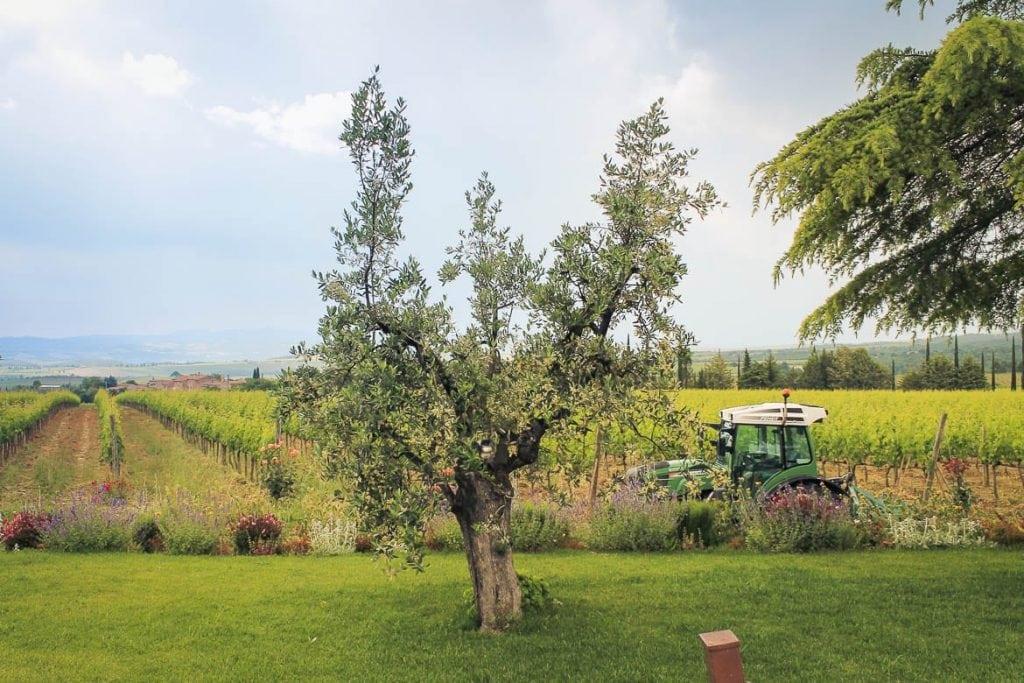 vinhedos em vinícola de Montalcino produtora do Brunello di Montalcino um famoso destino vitivinícola no mundo para o enoturismo na Itália