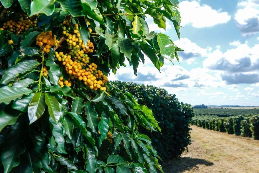 grãos de café bourbon amarelo em uma plantação na rota de café do sul de Minas Gerais