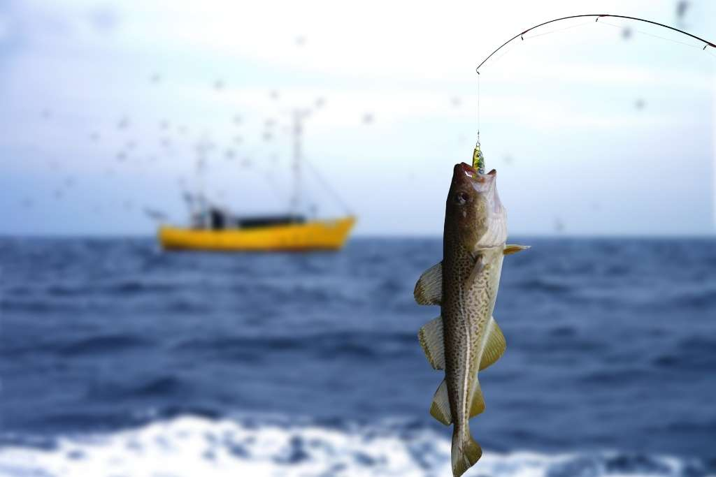 codfish jumping out of the water and taking a bait