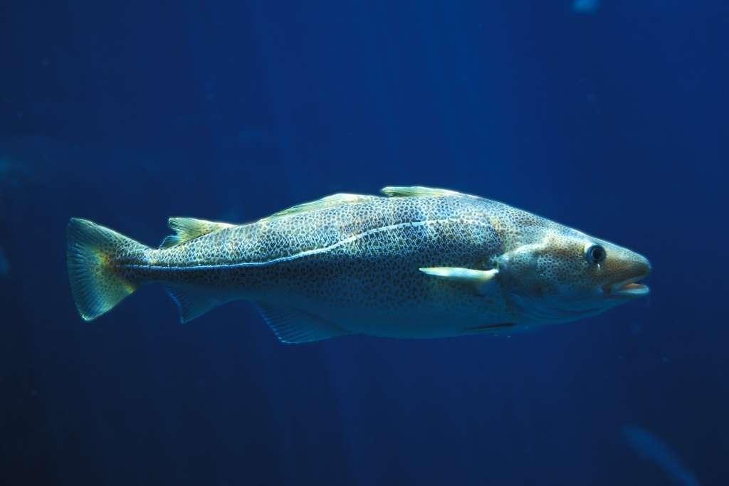 Gadus morhua, the Atlantic codfish, in water