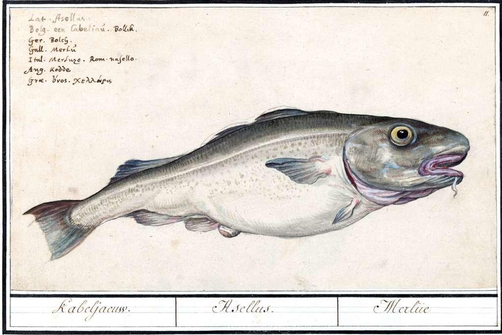 illustration of gadus morhua