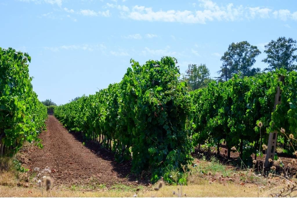 vineyard from Castelli Romani region